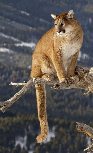 Mountain_Lion_Tree